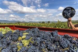 Ernte von Weintrauben