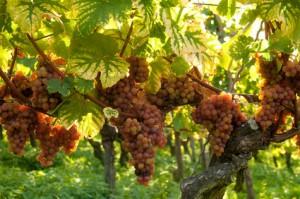 Weintrauben für Gewürztraminer