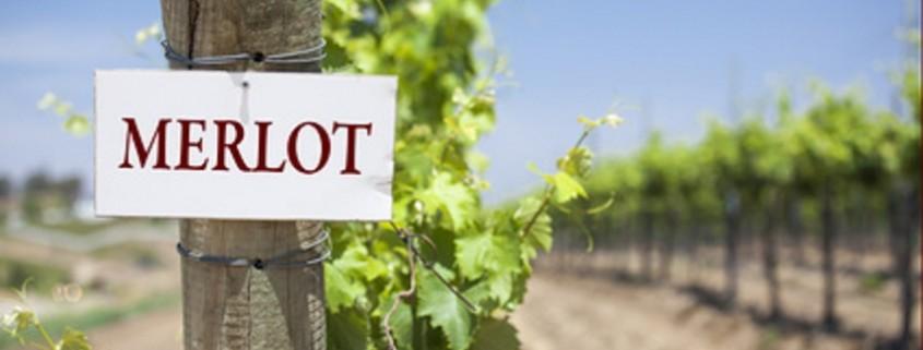 Merlot Schild am Ende einer Reihe von Weinberg Trauben.