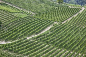 Weinberge im Piemont Gegend Italien