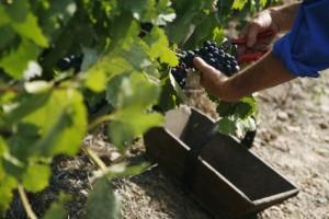 Ernte der Weintrauben